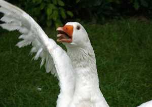 768px-Goose_attack